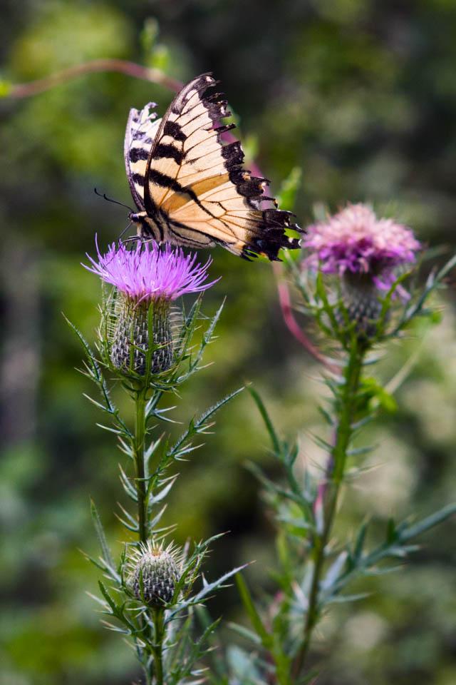 nex7 butterfly